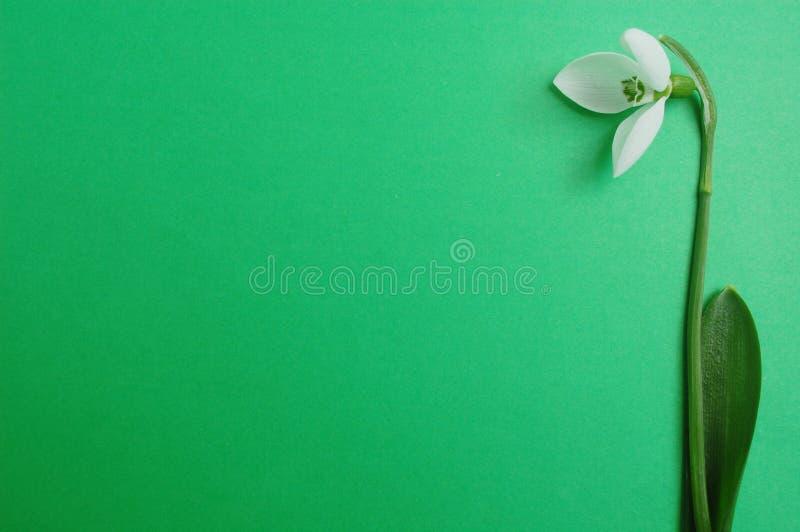 Snowdrop on green background stock photos