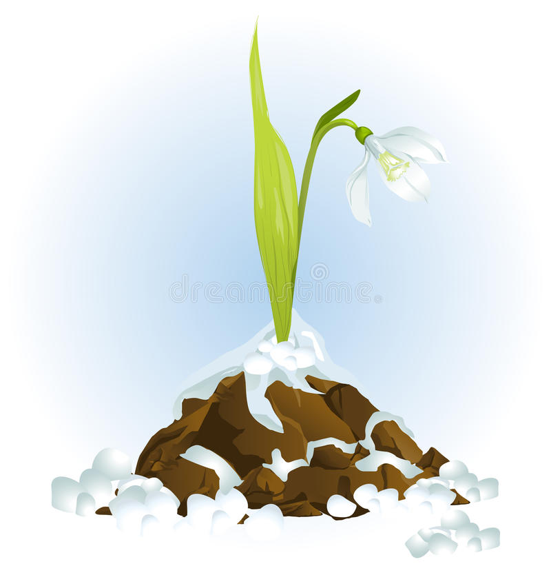 Snowdrop Growing Stock Images