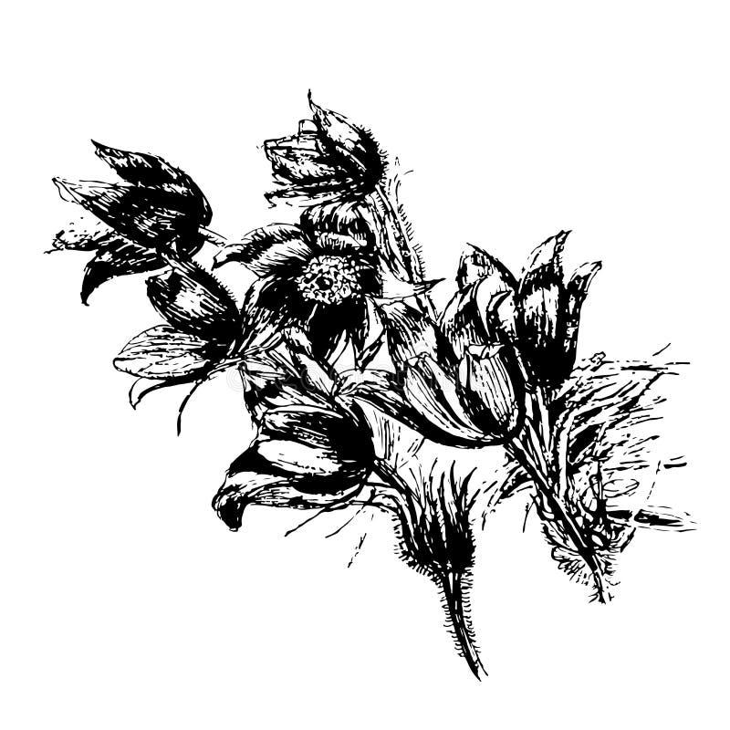 Snowdrop hermoso de dibujo de las flores, ejemplo a mano del bosquejo de la sueño-hierba libre illustration