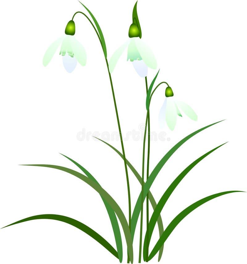 Download Snowdrop illustration stock illustration. Image of common - 13286191