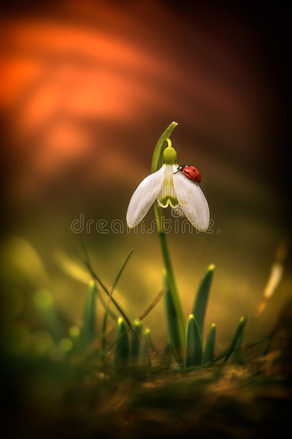 Snowdrop and ladybug stock image