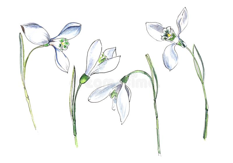 Snowdrop. Set of four small white flowers. Hand drawn watercolor illustration on a textured paper. stock illustration