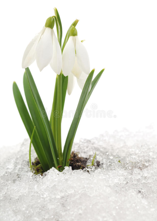 Snowdrop and Snow stock image