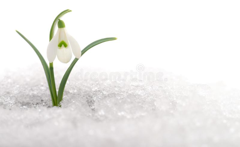 Snowdrop and Snow royalty free stock photography