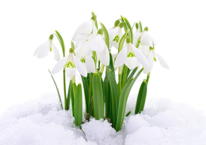 Snowdrop and Snow. stock images