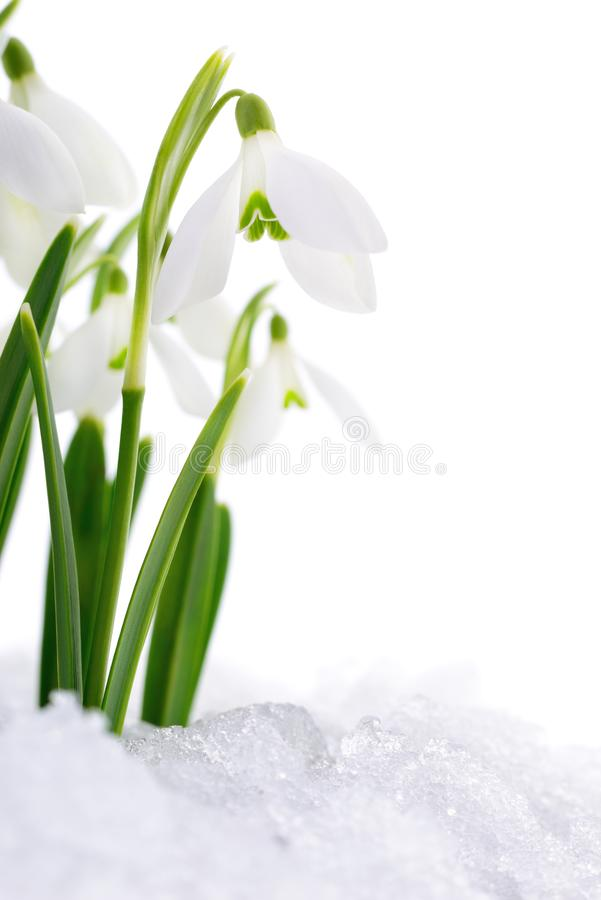 Snowdrop and Snow. royalty free stock photos