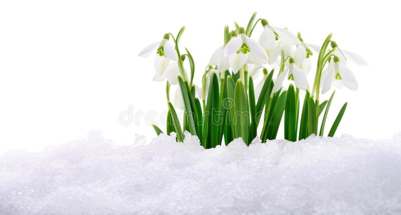 Snowdrop and Snow. royalty free stock image