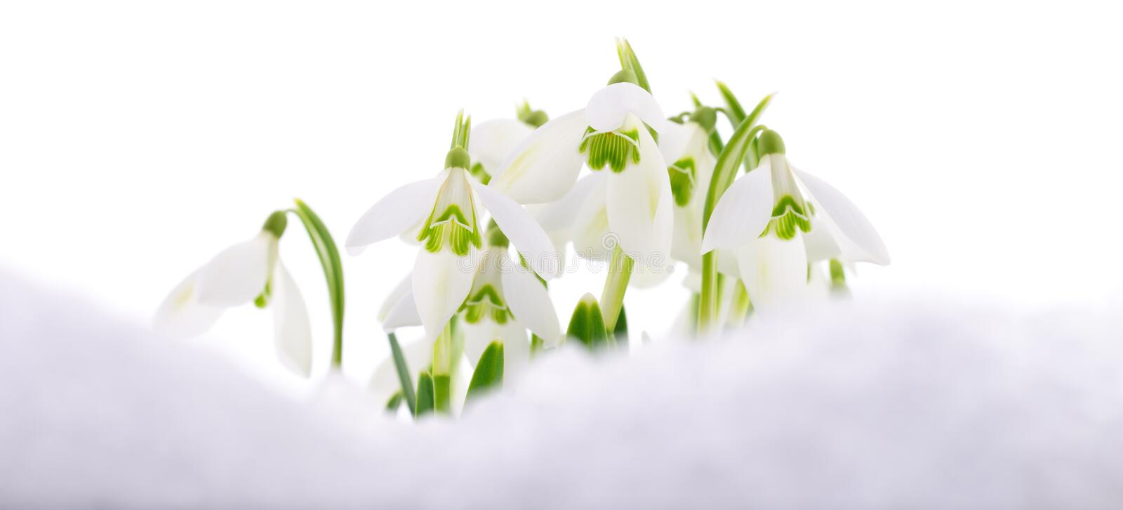 Snowdrop and Snow. Snowdrop flower coming out from real snow on white royalty free stock images