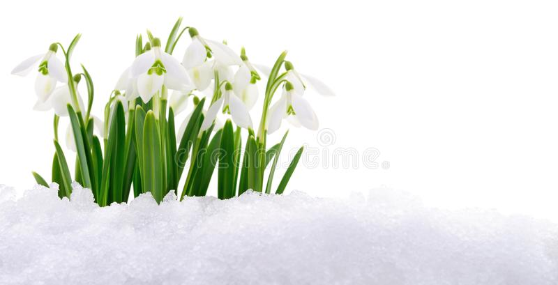 Snowdrop and Snow. Snowdrop flower coming out from real snow on white royalty free stock photography