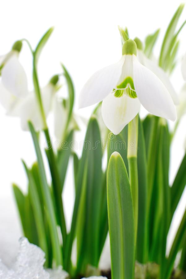 Snowdrop and Snow. Snowdrop flower coming out from real snow on white royalty free stock image