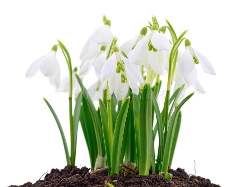 Snowdrop and Snow. Snowdrop flower coming out from real snow on white royalty free stock photos