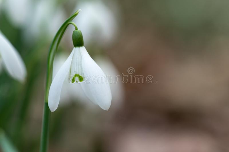 A Snowdrop spring flowers close-up macro with selective focus royalty free stock photo