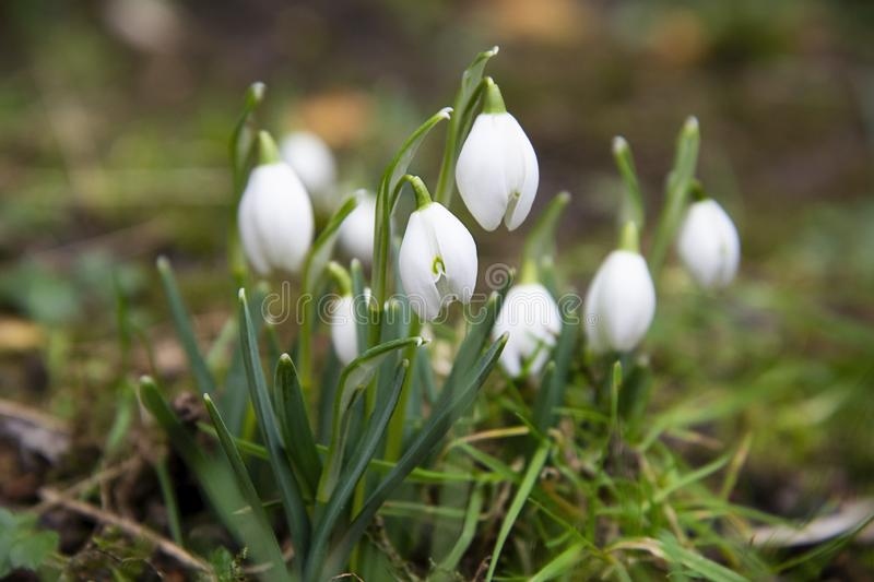 Snowdrop spring flowers in garden. Fresh green well complementing the white Snowdrop blossoms. Snowdrop spring flowers. Delicate Snowdrop flower is one of the royalty free stock photography