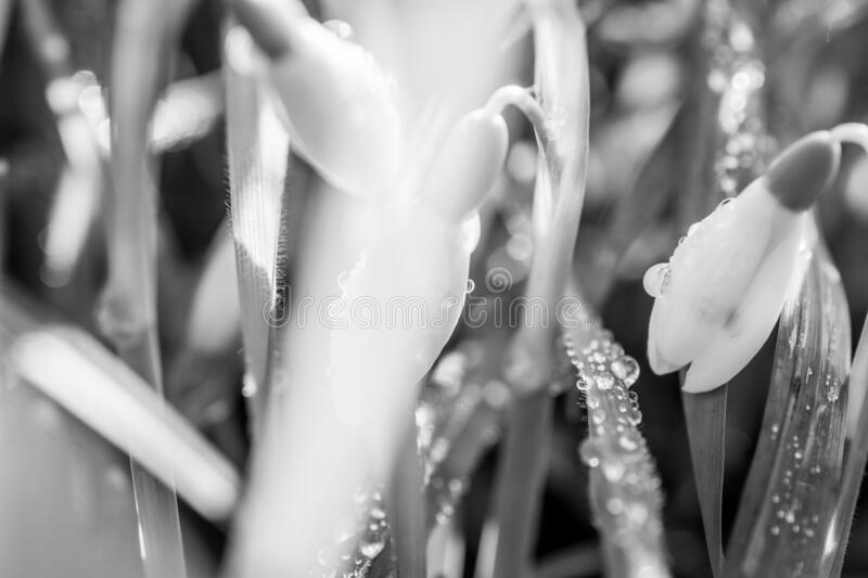 Snowdrop. Spring flowers( galanthus nivalis) black and white. Background, beautiful, black, white, bunch, close, up, clum, day, droped, early, field royalty free stock image