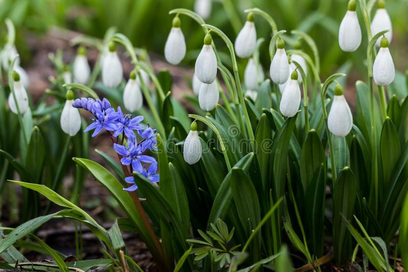 Snowdrop spring flowers Galanthus plicantus. Fresh green well complementing the white Snowdrop blossoms. Snowdrops are a sign of. The coming spring, warming the stock photography