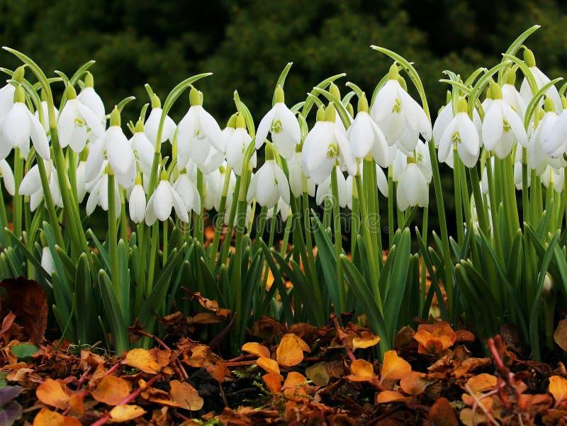 Snowdrop spring flowers, spring symbols stock photo