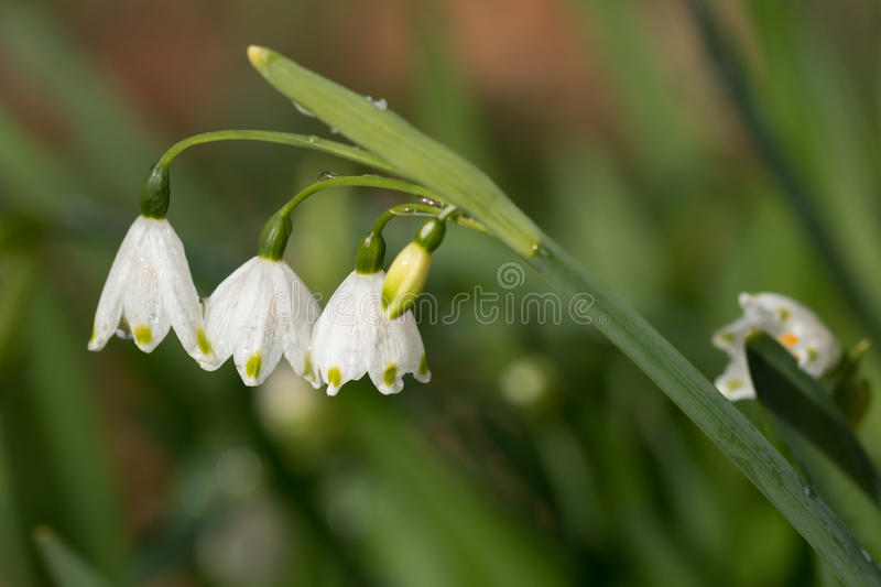 Snowdrop stem with three flowers on blurry background. Galanthus stem with three flowers on blurry background stock image