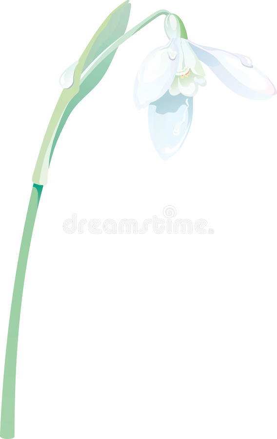 Snowdrop Vector Stock Images