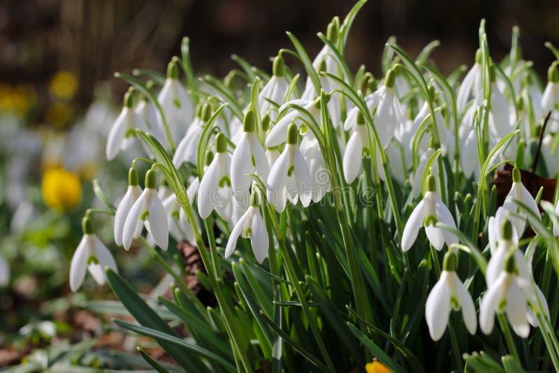 Snowdrop stock photo image of england fresh botanic 87814386 snowdrop white spring flowers on blur green background mightylinksfo