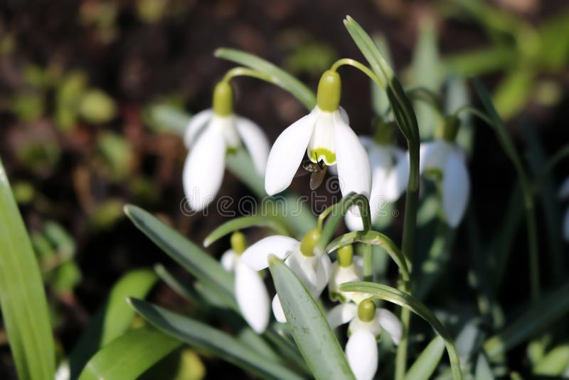 Snowdrops在早期的春天, Galanthus 免版税库存照片
