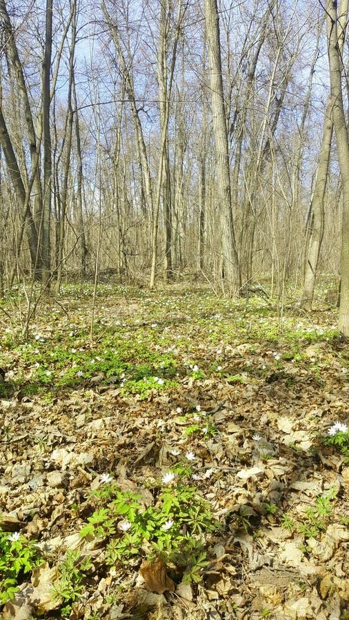 Snowdrops在森林里在早期的春天 在草甸的野花 E 免版税库存图片