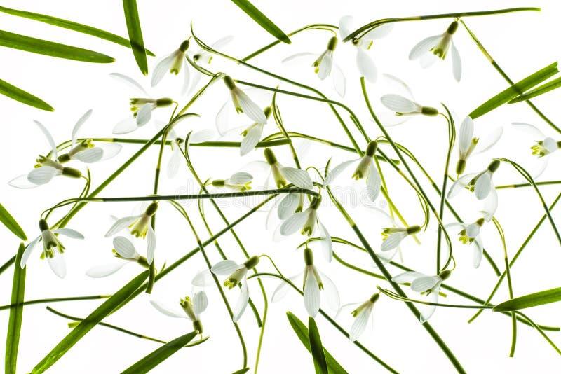 Snowdrops在白色背景隔绝了 库存图片