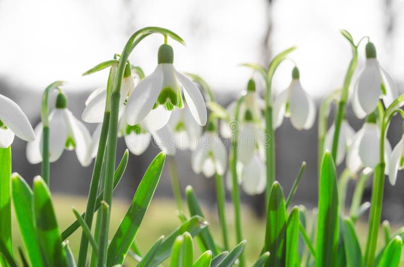 snowdrops或galanthus被日光照射了美丽的开花在阿尔卑斯沼地 库存照片