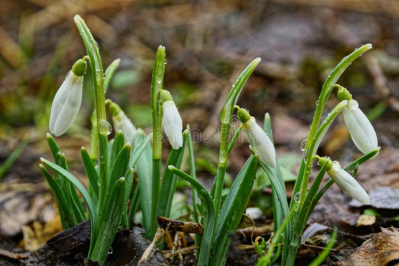 Snowdrops белых цветков дикие маленькие в падениях росы с зелеными листьями в лесе стоковая фотография rf