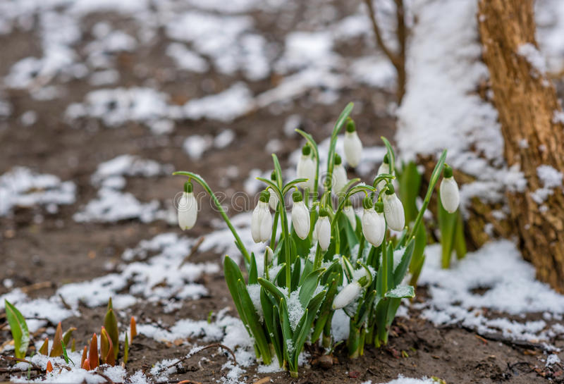 Snowdrops κάτω από το χιόνι στοκ εικόνα