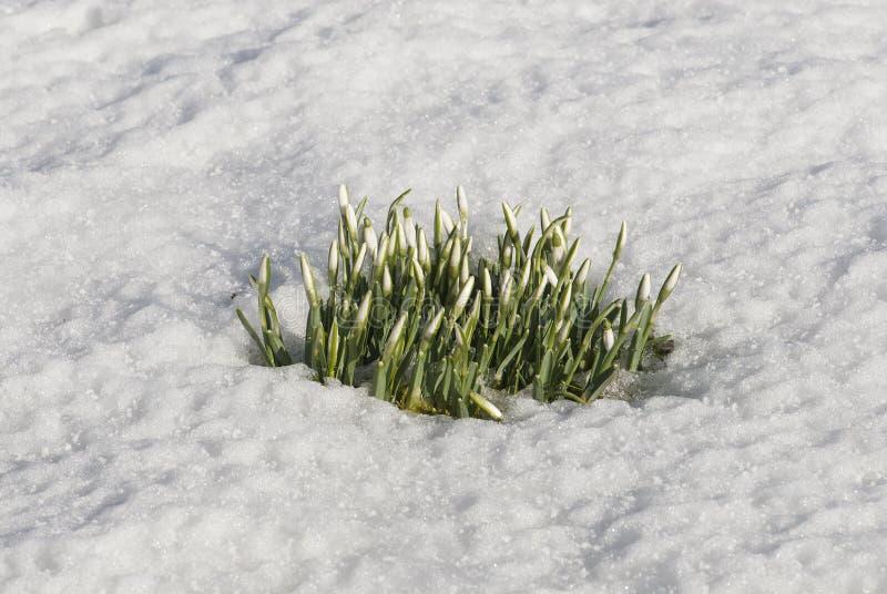 Snowdrops που προκύπτει μέσω του χιονιού. στοκ εικόνα