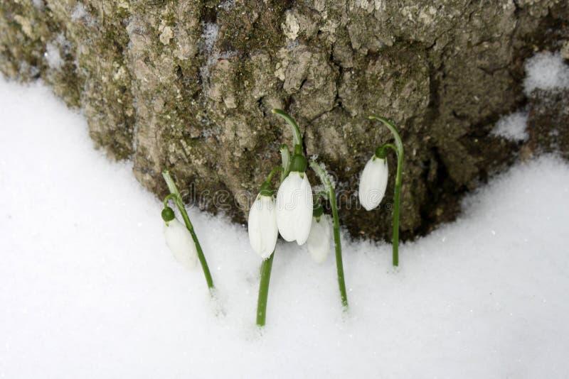 Snowdrops весны в снеге в лесе стоковая фотография rf