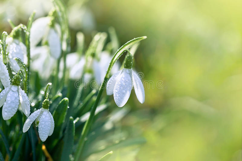 Snowdrops весны стоковые фото