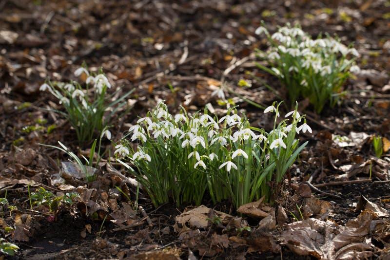Snowdrops в пуще стоковое фото rf