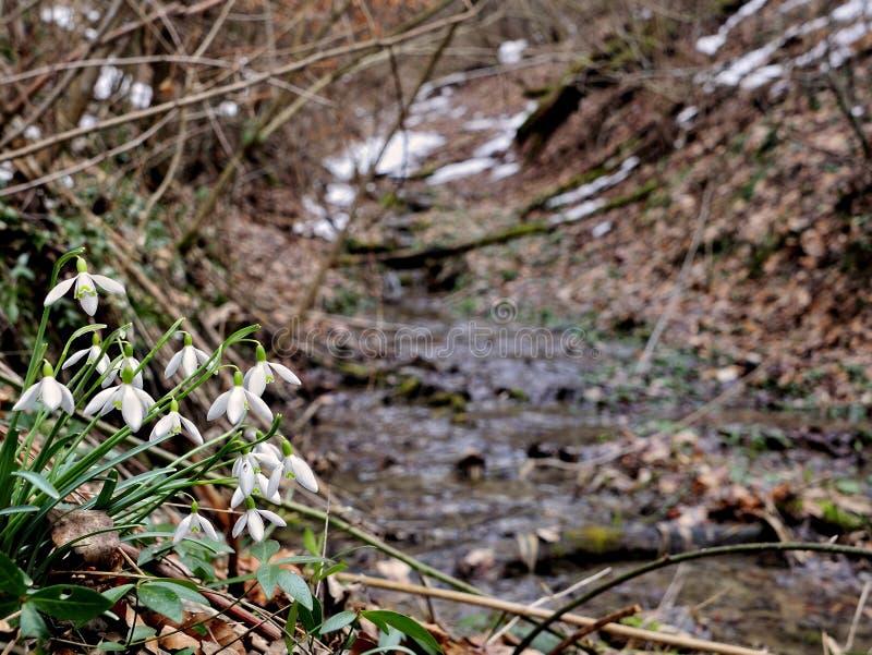 Snowdrops и поток стоковое изображение rf