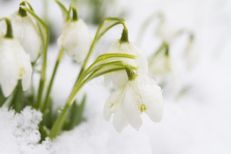 Snowdrops растя в снеге стоковое фото rf