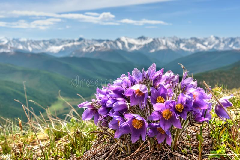 Snowdrops цветет снег горы стоковое фото