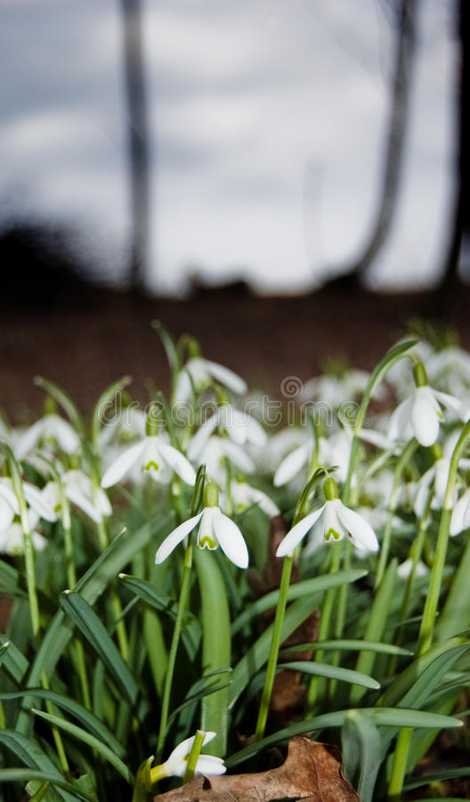 The snowdrops stock image