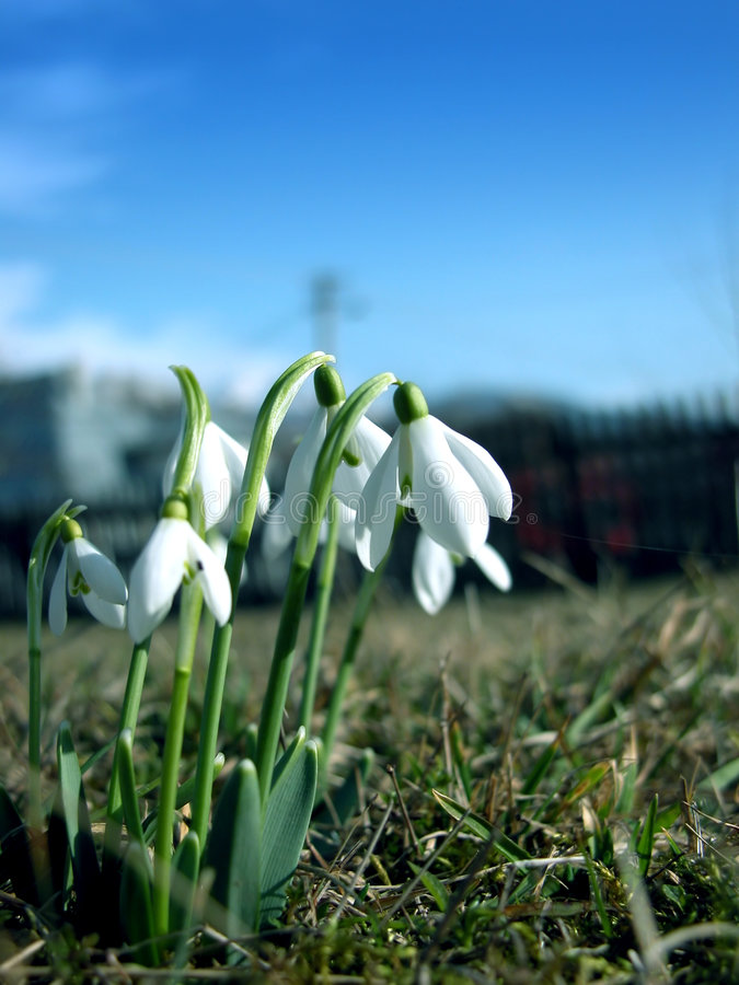 Snowdrops images stock