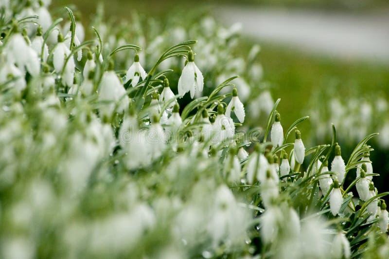 snowdrops royaltyfri fotografi