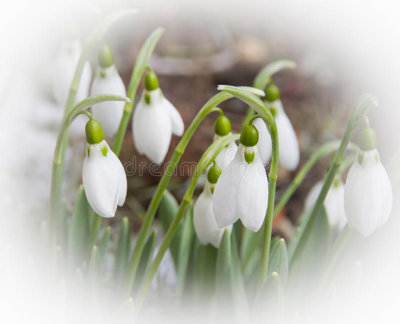 Download Snowdrops stock photo. Image of picture, treatment, background - 18652230