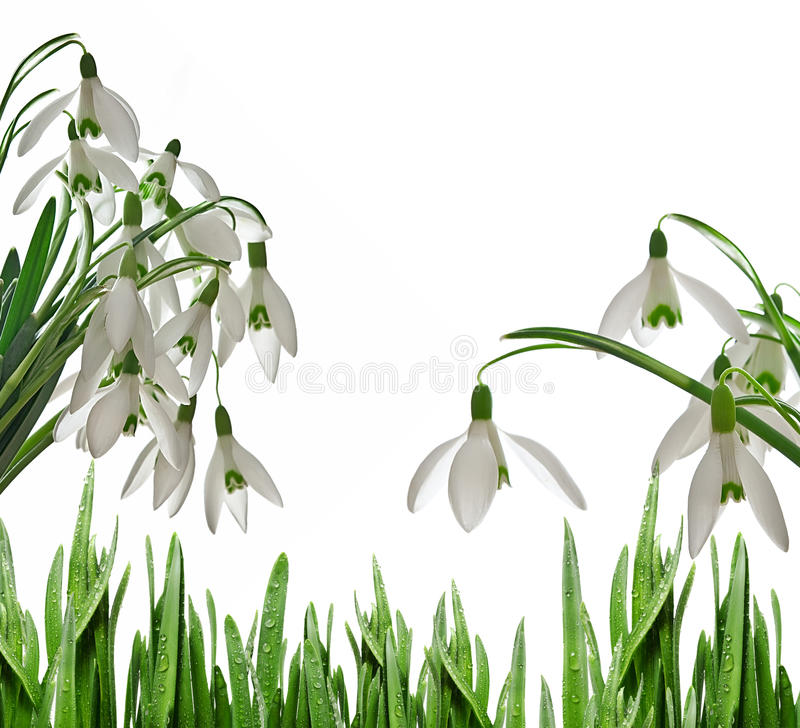 Snowdrops. And dewy grass on white royalty free illustration