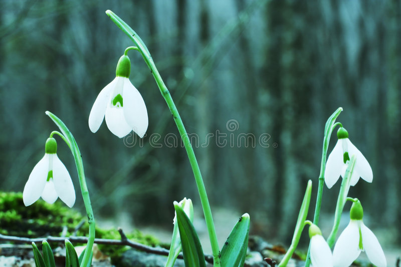 snowdrops стоковые фото