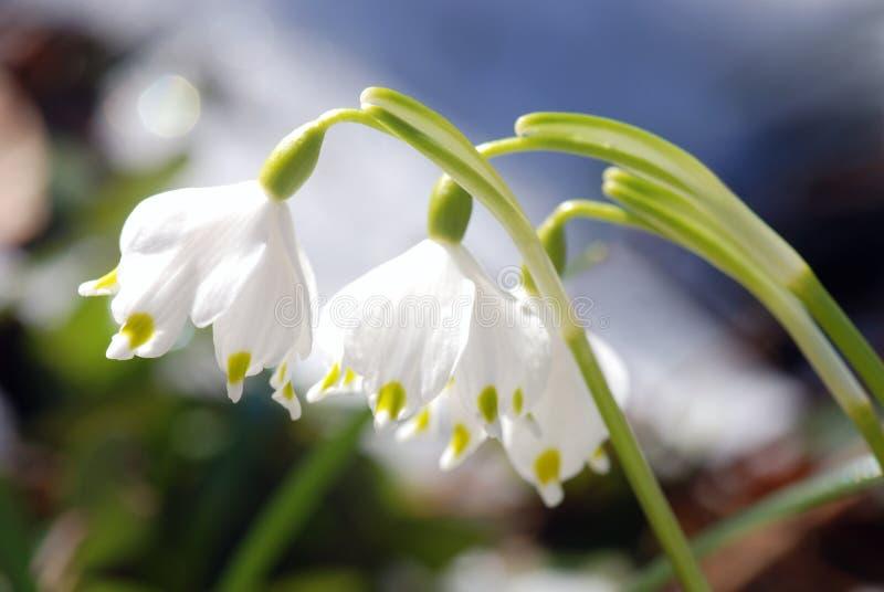 snowdrops arkivfoto