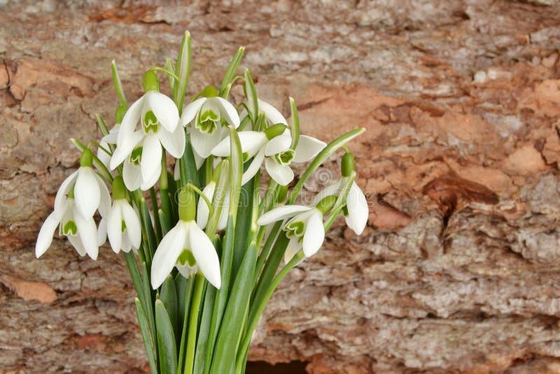 snowdrops stock foto's