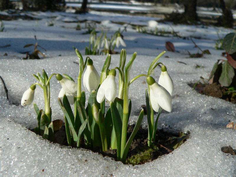 Snowdrops. Rising from the snow royalty free stock photo