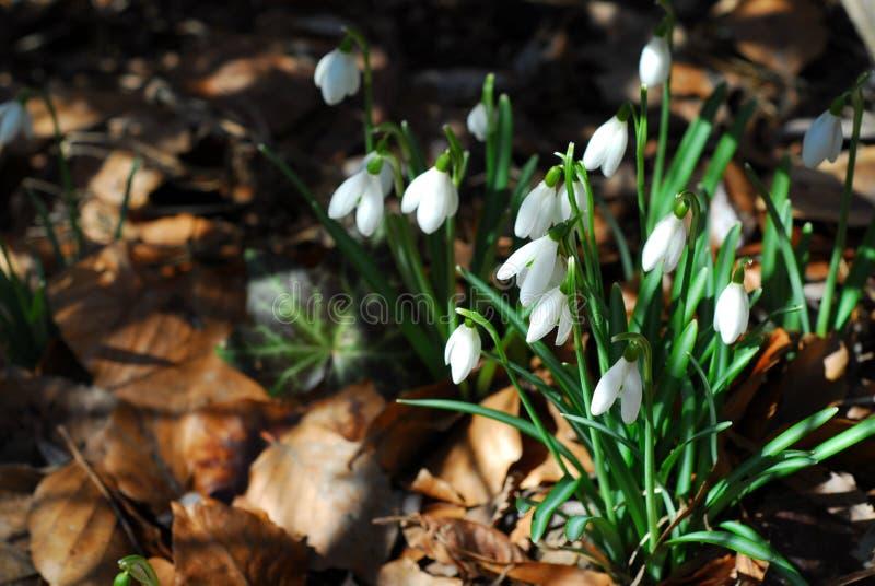 Download Snowdrops photo stock. Image du lames, croissance, detail - 737304
