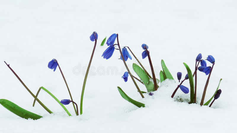 snowdrops stockfoto