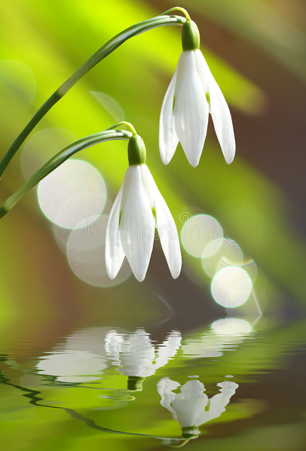 Download Snowdrops stock image. Image of decoration, background - 8678083