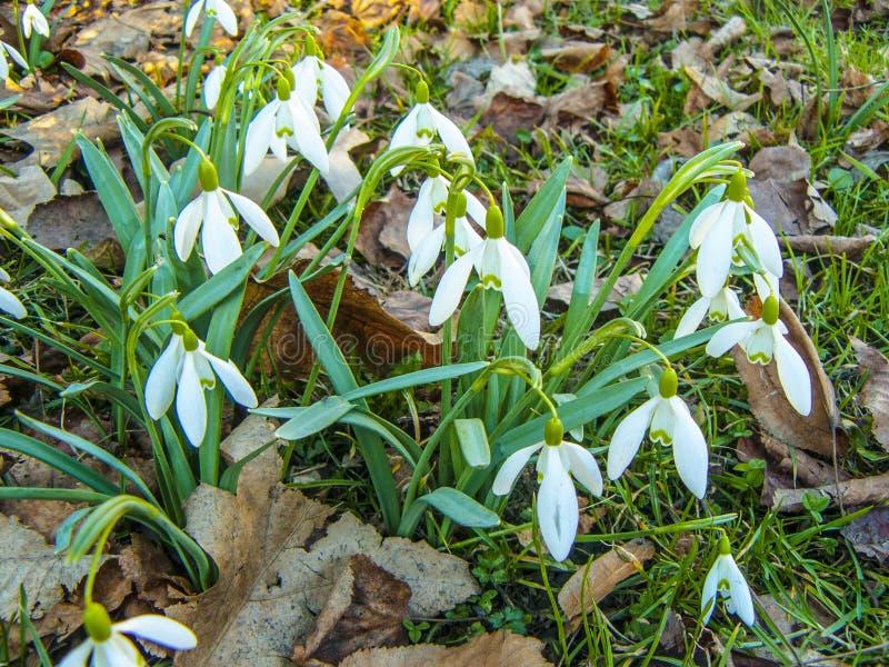 snowdrops As primeiras flores da mola fotografia de stock