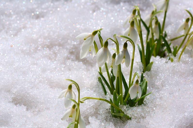 Snowdrops auf Schnee stockbild